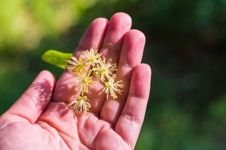 fragrant Linden blossom in the hands outdoors Archivio Fotografico