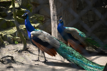 two peacocks in zoo Stock Photo