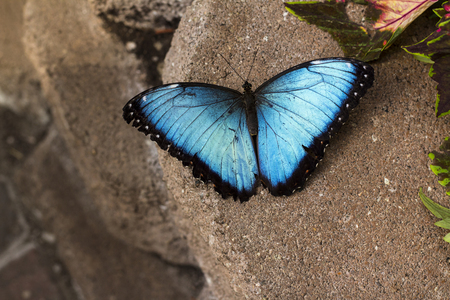 The blue morpho is among the largest butterflies in the world.The blue morpho butterfly wings are bright blue, edged with black,with little white dots. Stock Photo