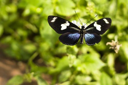 Doris Longwing butterfly (Heliconius Doris) feeding on white flower. Natural green background