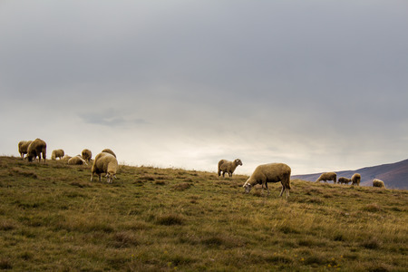 Sheep flock eating grass in the mountain pasture in Zlatibor, Serbia. Rural background. Countryside tourism concept.