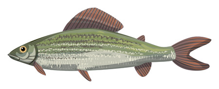 The grayling Thymallus thymallus,freshwater fish in the salmon family Salmonidae, vector illustration