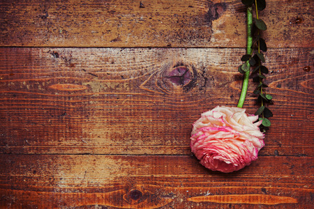 buttercup flower: Pink persian buttercup flower ranunculus and gift box on wooden background. Toned picture Copy space, your text here