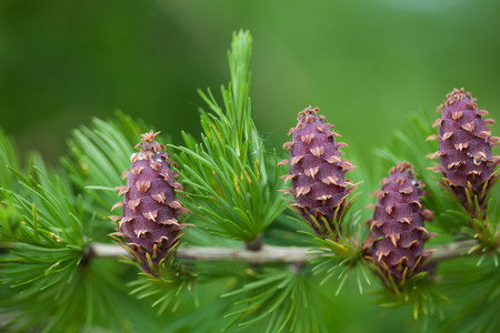 ovulate: Close up of ovulate cones strobiles of the larch tree in the end of May Stock Photo