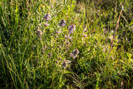 Medicinal herbs and flowering wild thyme grow in the field. Thyme is widely used in cooking and in herbal medicine.