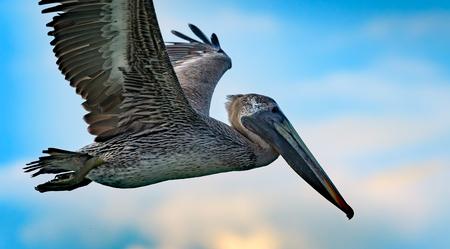 Pelican in the air