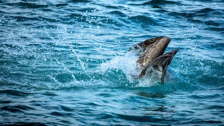 Pelican splashing into water, hunting for fish