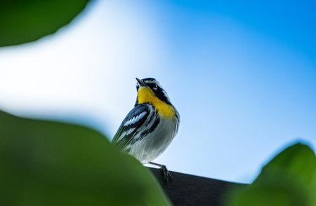 Yellow-throated warbler in Mexico