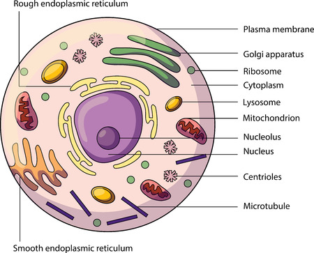 The structure of an animal cell, with labeled parts. Biology vector illustration