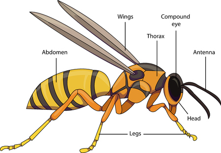 Vector illustration of an insect. Diagram with labeled parts of a wasp.