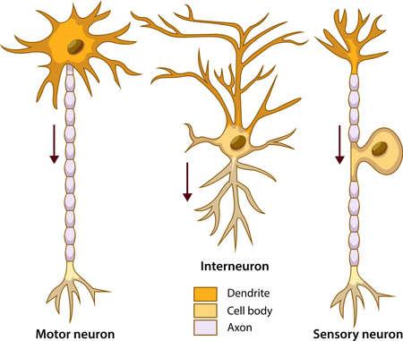 Schematic vector illustration of three types of neurons or nerve cells. Ilustração