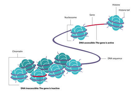 Vector illustration of epigenetics, the study of heritable phenotype changes that do not involve alterations in the DNA sequence. Figure of DNA methylated and acetylated with the eight histones. Ilustração Vetorial