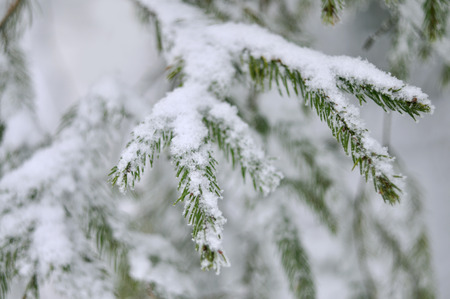 frigid: Pine tree branches coverd with white snow