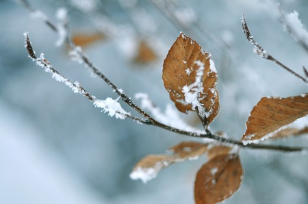 frosty: Frosty snow-covered leaves, shallow depth of field. Stock Photo