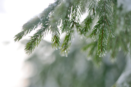 coldly: Pine tree branches coverd with white snow