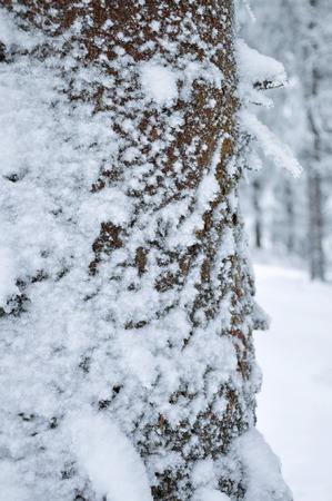 frigid: Pine tree trunk coverd with white snow