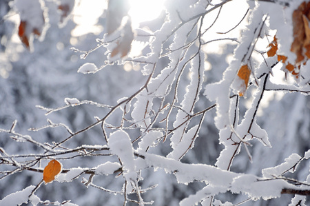 frigid: The tree branches coverd with white snow