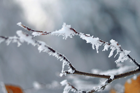 coldly: The tree branches coverd with white snow