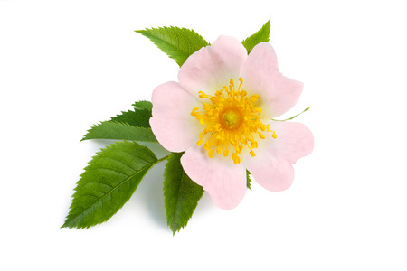Beautiful pink flower of dog rose for herbal medicine Reklamní fotografie