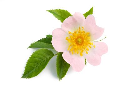Schöne rosa Blume des Hundes stieg für Kräutermedizin Standard-Bild - 46316138