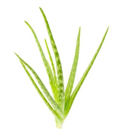 Aloe vera leaves - ingredients for cosmetic and medicine industry