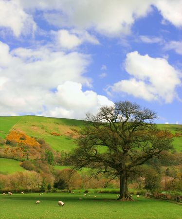 A pasture in springtime amongst the hills with sheep grazing and a large oak tree. photo