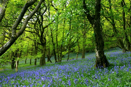 An ancient bluebell forest in the Cambrian Mountains, Wales, U.K. Banco de Imagens