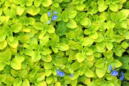 Fresh herb oregano with blue flowers. photo