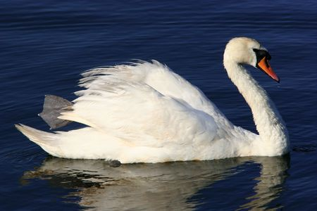 A white swan floating on water. photo
