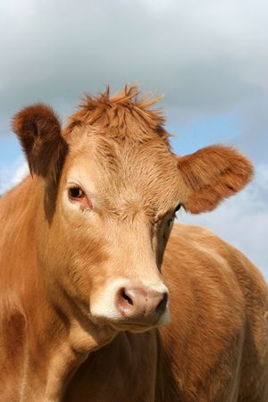 portraiture: The face and upper body of a brown cow.