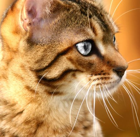Face of a golden Bengali special breed kitten with desaturated eyes. Stock Photo - 309605