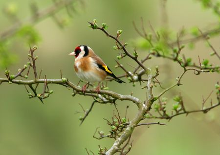 A goldfinch sitting on the branch of a hawthorn tree in spring.