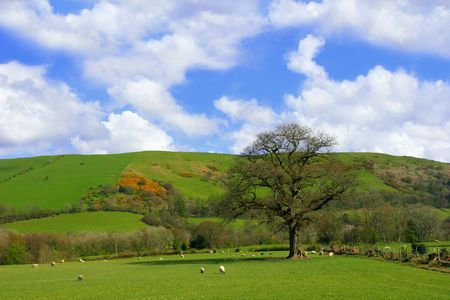 A field in springtime set amongst the hills with sheep grazing and a large oak tree on a blue sky and puffy white cloud day.