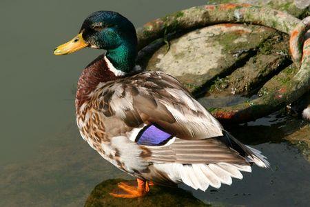 A Mallard duck standing alone on a rock near water