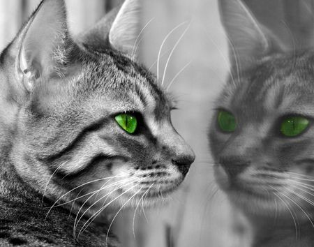 Begali special breed kitten with green eyes, seeing herself reflected in a glass window. Stock Photo
