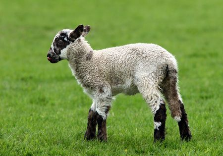 standing alone: Brown and white speckled lamb standing alone in a field in spring. Stock Photo