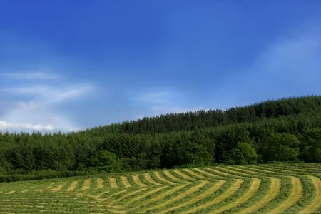Lines of ready cut hay curving across a field against a blue sky with puffy white clouds. photo