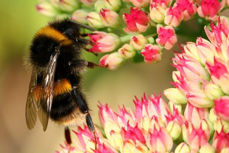 Bumble bee on a sedum flowerhead. photo