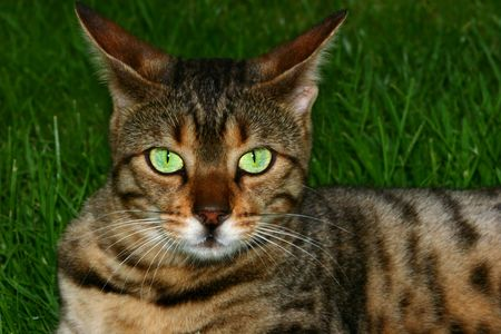 Bengali special breed cat sitting on the grass with irridescent green eyes focused in a direct gaze.