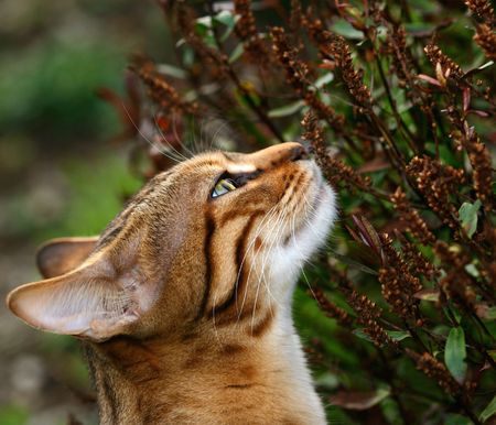 flowerhead: Head and neck of a Bengali special breed kitten stretching and sniffing a hebe flowerhead.