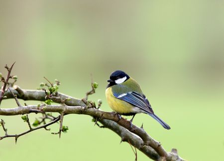A blue tit sitting on the branch of a hawthorn tree in spring. Stock Photo