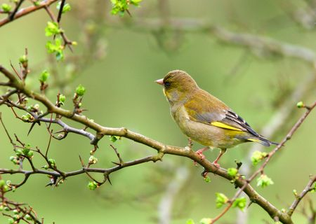 greenfinch: Greenfinch sitting on the branch of a hawthorn tree in spring. Stock Photo
