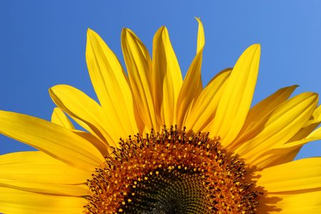 Half segment of a flowering sunflower on a clear blue sky day. Banco de Imagens