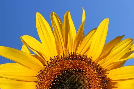 segmento: Mezza segmento di una fioritura di girasole su un cielo blu chiaro giorno.