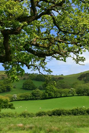 Overhead branches of an oak tree in spring, with sheep, meadows, trees and flowering hawthorns beyond.