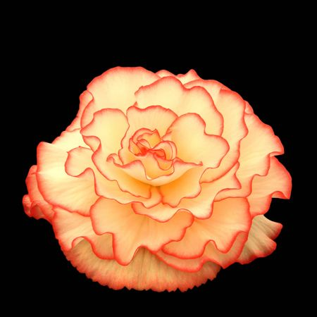 Red and cream begonia in full bloom on a black isolated background. Stock Photo - 309519