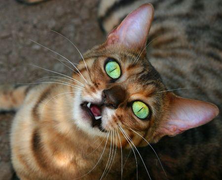 Bengalí raza especial gatito buscando al alza, con un enorme abierto los ojos verdes iridiscentes, con su boca abierta revelar dos dientes frontales y una extraña mirada en su cara.