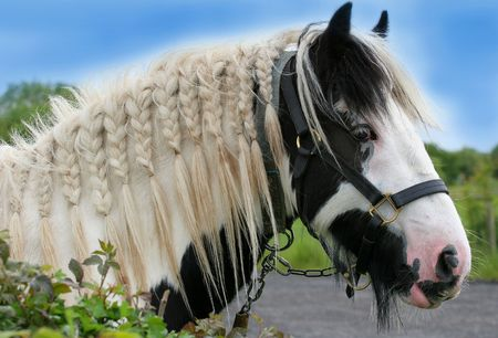 Profile of a black and white gypsy cob horse with bridle and with its mane plaited.