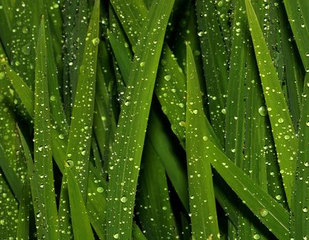globular: Lily leaves covered in raindrops.