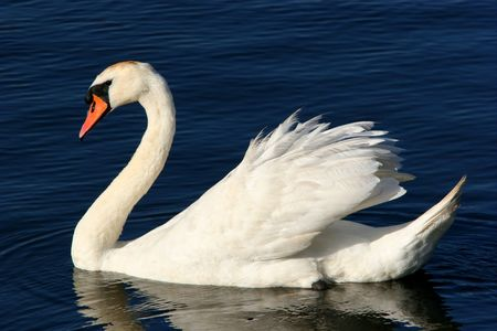 gentleness: Swan floating on a pool.